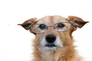 older dog wearing glasses
